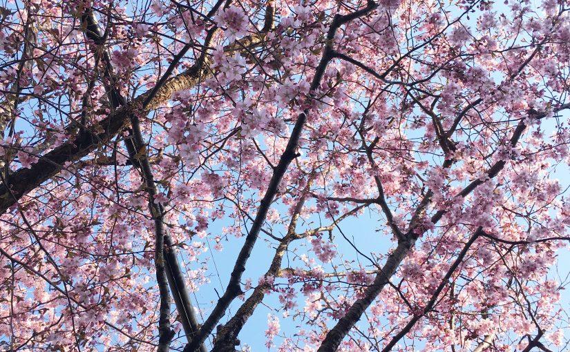円山の桜開花状況