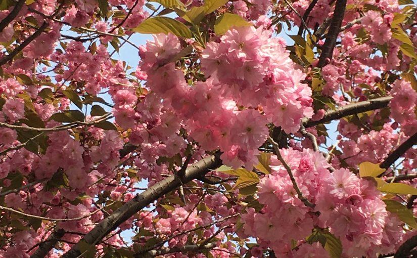 南円山の桜開花状況